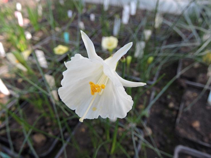 Narcissus romieuxii ssp. albidus var. zaianicus